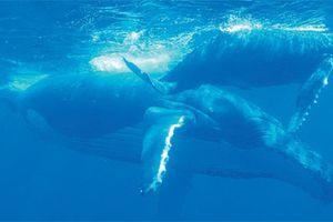 Les baleines arrivent en Polynésie !
