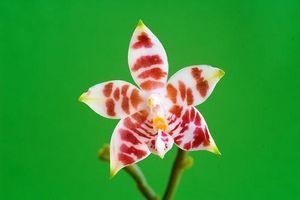 Mon Phalaenopsis amboinensis à l'honneur