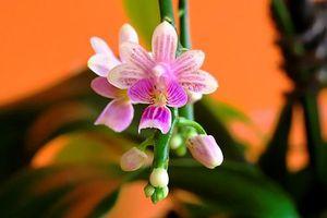 Mon Phalaenopsis deliciosa en est bien un !