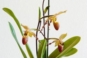 Paphiopedilum hybride (suite)