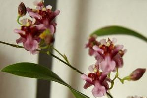 "Oncidium Twinkle ""Red Fantasy"""