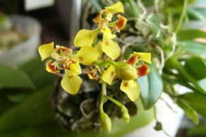 Oncidium coloratum (suite)