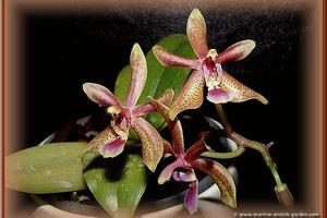 Phalaenopsis Linda Cheok