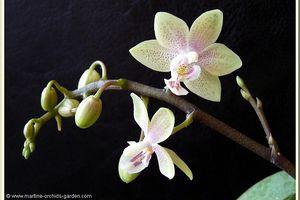 Phalaenopsis Mannandra