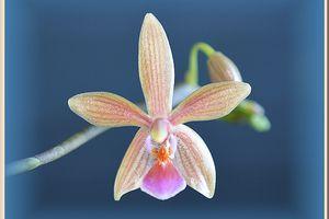 Phalaenopsis Cornustris