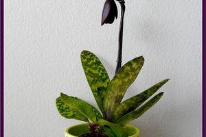 Paphiopedilum Vinicolor hybride