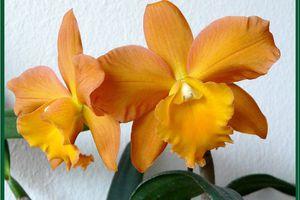 Potinara Precious Jewel x Waikiki Gold
