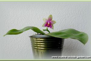 Phalaenopsis Penang Girl