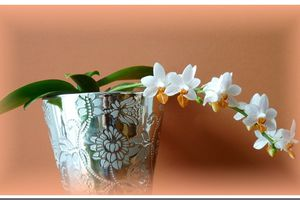 Phalaenopsis Mini Mark : enfin !
