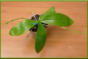 Phalaenopsis mannii var. mahogany mericlone... Des nouvelles