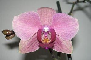 "Phalaenopsis hybride ""Vieux Rose"""