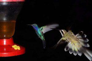 Mille et une photos du Panama, dans le Darien, le ballet crépusculaire des colibris