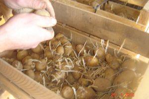 Pourquoi les pommes de terre sont-elles germées ?
