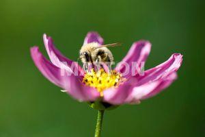 La pollinisation - transport du pollen d'une fleur à l'autre