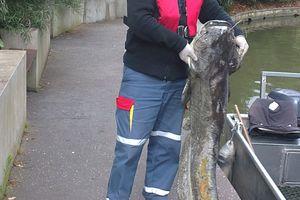 UN SILURE 1métre 60 récupéré par AZIZ le nettoyeur du lac
