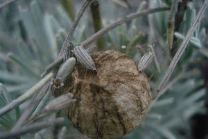 Cocon d'argiope