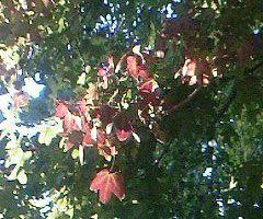 Maurice Carême / Valse des feuilles d'automne...
