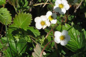 petites fleurs sauvages......