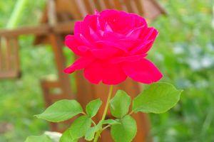 La belle en rose