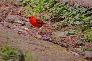 Le Cardinal à La Réunion
