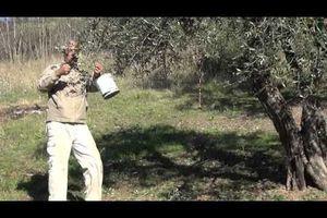 L'olivier, vu par Mouloud Mammeri.