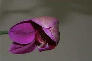 Ouverture accélérée d'un bouton de Phalaenopsis