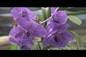 Orchid Farm sur l'île de Phuket en Thaïlande