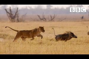 Hungry lion chases warthog - Natural World: Africa's Giant Killers: