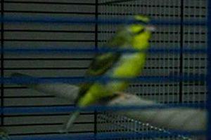 Chants d'oiseaux = Aide à la Joie.