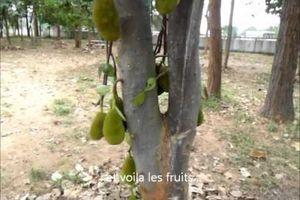 DELICIEUX JACK FRUIT