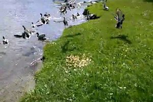 La mare aux canards...