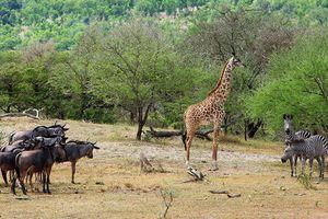 Afrique : Selous, une réserve animalière sacrifiée pour le nucléaire,