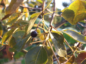 http://upload.wikimedia.org/wikipedia/commons/8/8a/Cinamommum_camphora_fruit.JPG
