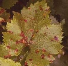 Album - Mildiou--maladie-de-la-vigne