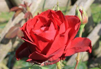 Découvrez le rosier 'Perle Noire'