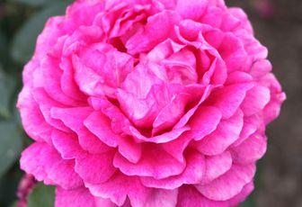 Découvrez le rosier anglais 'Noble Anthony'