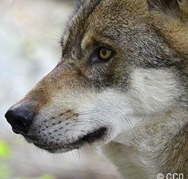 CAP Loup : Royal s'acharne contre les loups !