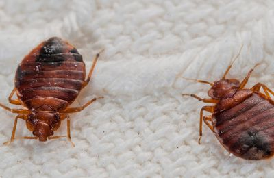 What Are The Risk Factors of Bed Bugs in Toronto?