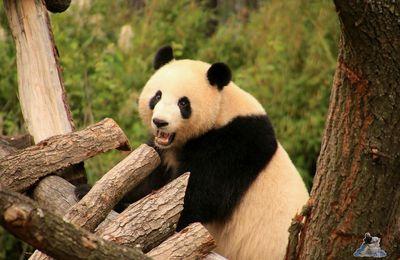 Pandas Meng Meng und Jiao Qing im Berliner Zoo 09.07.2017