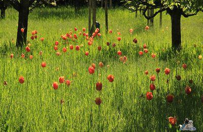 Britzer Garten Tulipan 15.05.2015