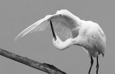 Aigrette garzette, photo de Christabelle