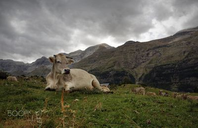 Vache au refuge du plateau de Lalari. Photo de Laurent