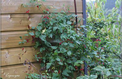 La morelle douce-amère (Solanum dulcamara)