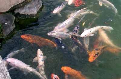How the monks farmed carp