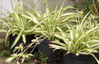 les plantes pour contrer les pollutions interieures...