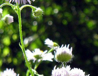 Les amis naturels de notre santé : Camomille, Carotte