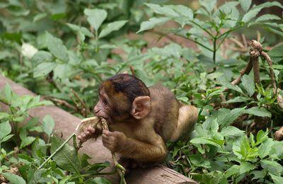 Les singes magots envahissent les villages à larba nath irathen