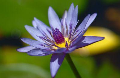 Petite fleur d'eau (nénuphar)