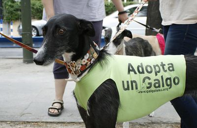STRASBOURG LEVRIERS GALGOS MARTYRS D'ESPAGNE : ANIMALSACE AU RASSEMBLEMENT ANTI CHASSE !