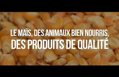 Maïs : une grande culture durable